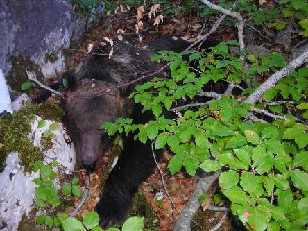 Così è stato deciso : Morte agli orsi.