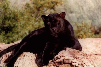 Casalfiumanese, avvistata una pantera.