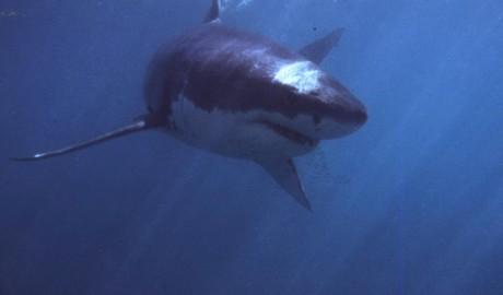 Oceano Indiano, attacco mortale di uno squalo a pochi metri dalla riva