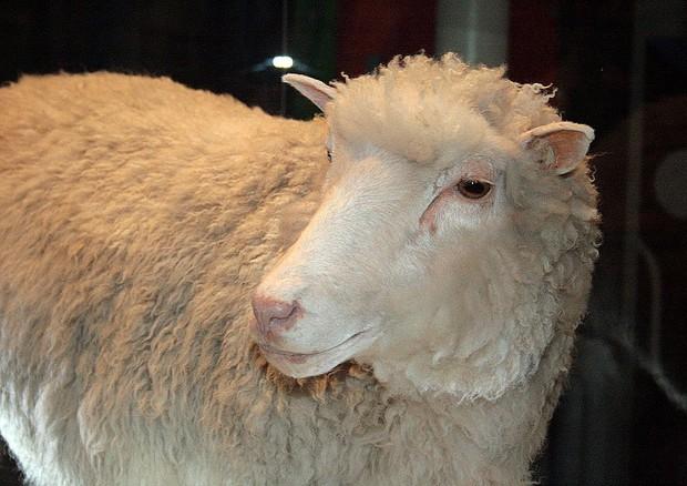 La pecora Dolly non soffriva di artrite